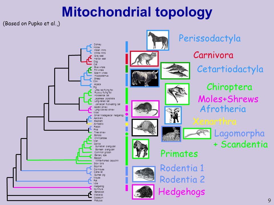 9 Perissodactyla Carnivora Cetartiodactyla Rodentia 1 Hedgehogs Rodentia 2 Primates Chiroptera Moles+Shrews Afrotheria Xenarthra Lagomorpha + Scandentia Mitochondrial topology (Based on Pupko et al.,)