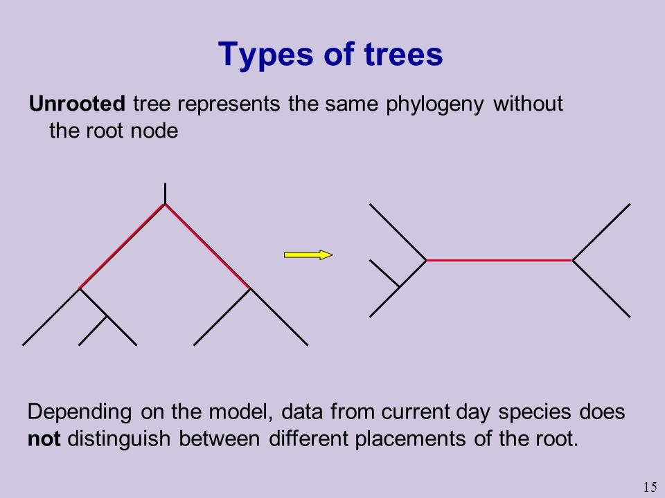 15 Types of trees Unrooted tree represents the same phylogeny without the root node Depending on the model, data from current day species does not distinguish between different placements of the root.