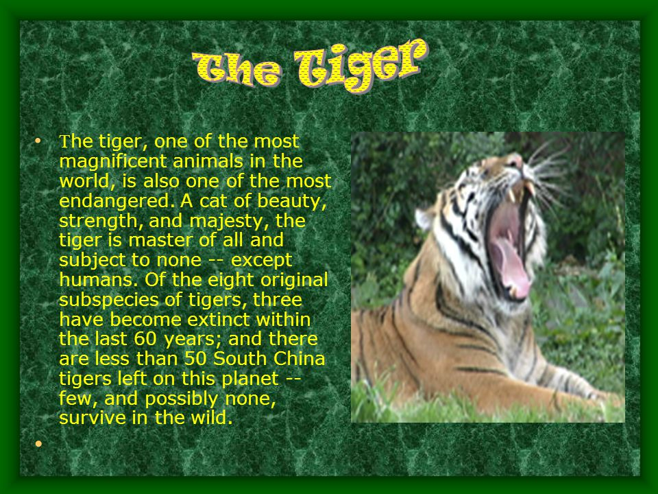 T he tiger, one of the most magnificent animals in the world, is also one of the most endangered.