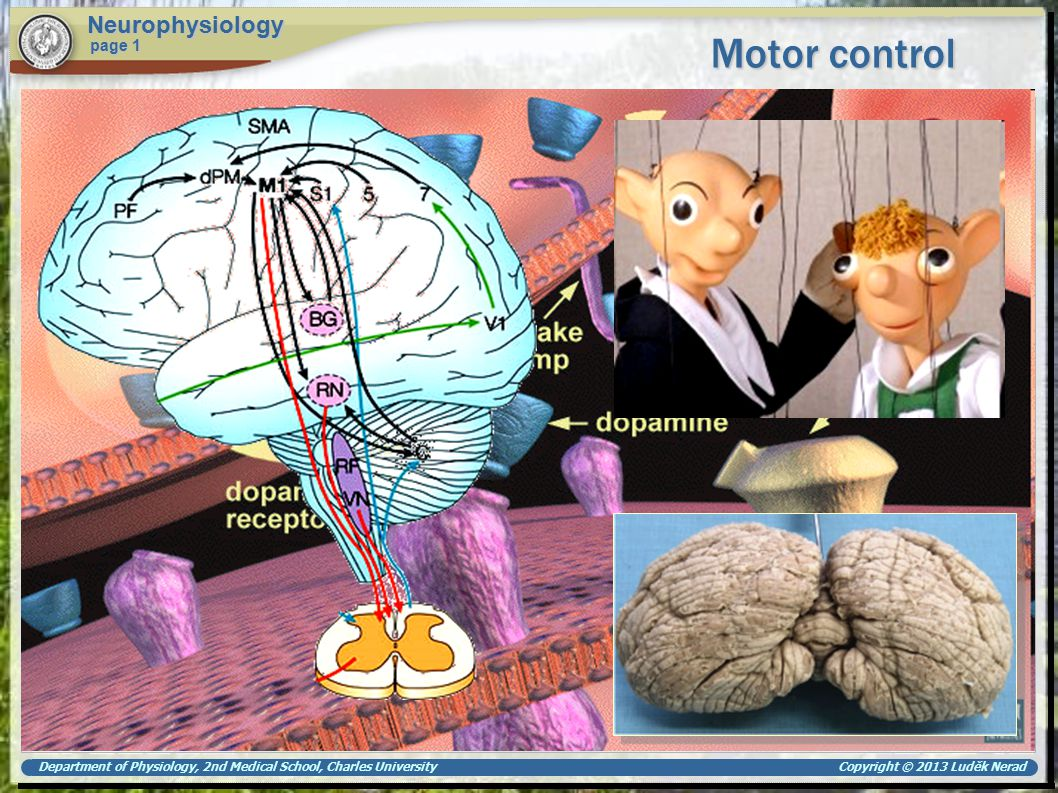 Department of Physiology, 2nd Medical School, Charles University Copyright © 2013 Luděk Nerad Motor control Neurophysiology page 1