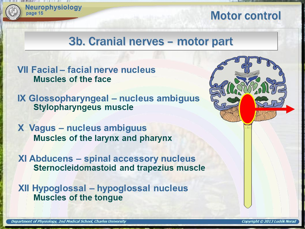 Department of Physiology, 2nd Medical School, Charles University Copyright © 2013 Luděk Nerad Motor control Neurophysiology page 15 3b. Cranial nerves