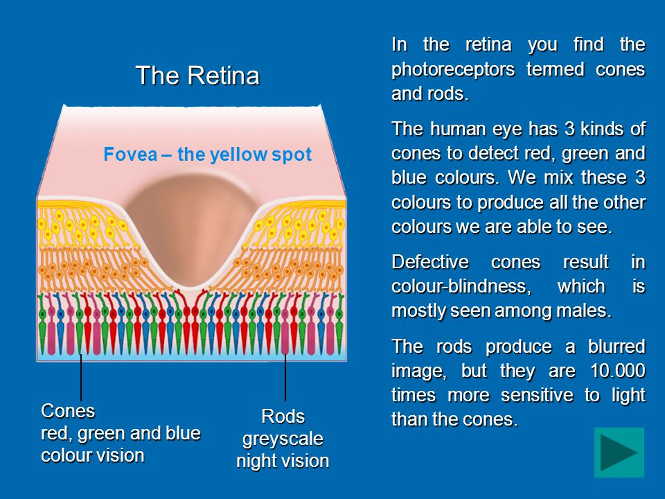 Fovea – the yellow spot The Retina Cones red, green and blue colour vision Rods greyscale night vision In the retina you find the photoreceptors termed cones and rods.