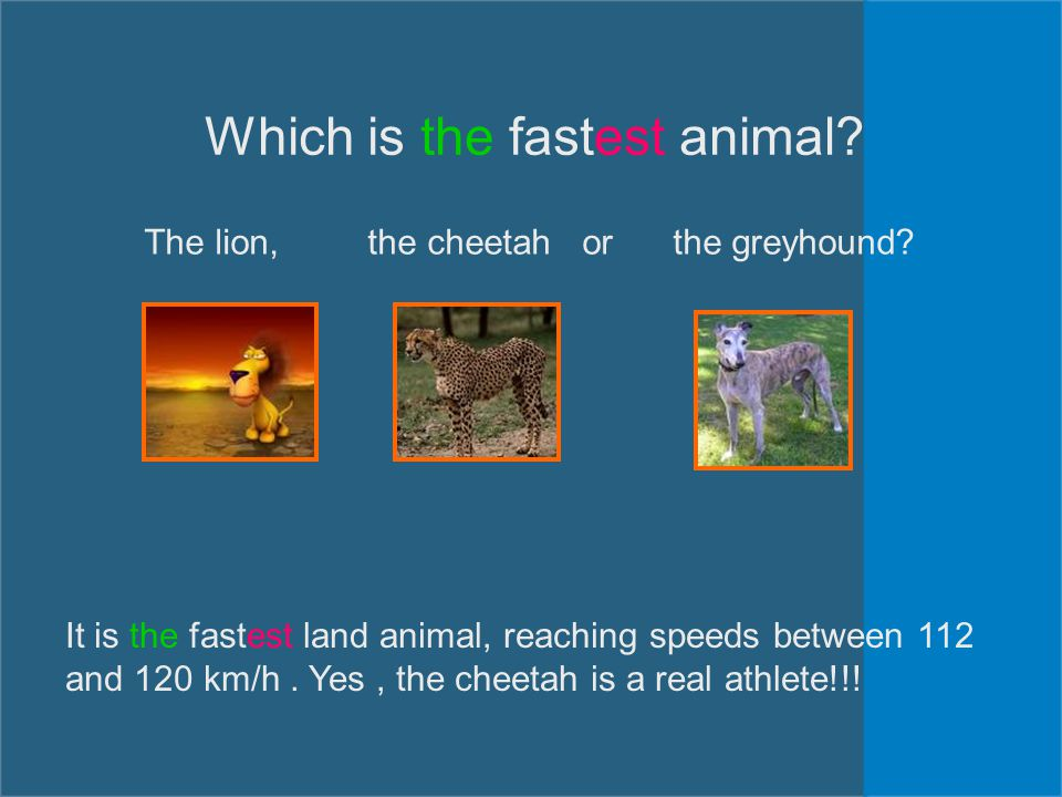 Which is the fastest animal? The lion, the cheetah or the greyhound? It is the fastest land animal, reaching speeds between 112 and 120 km/h. Yes, the