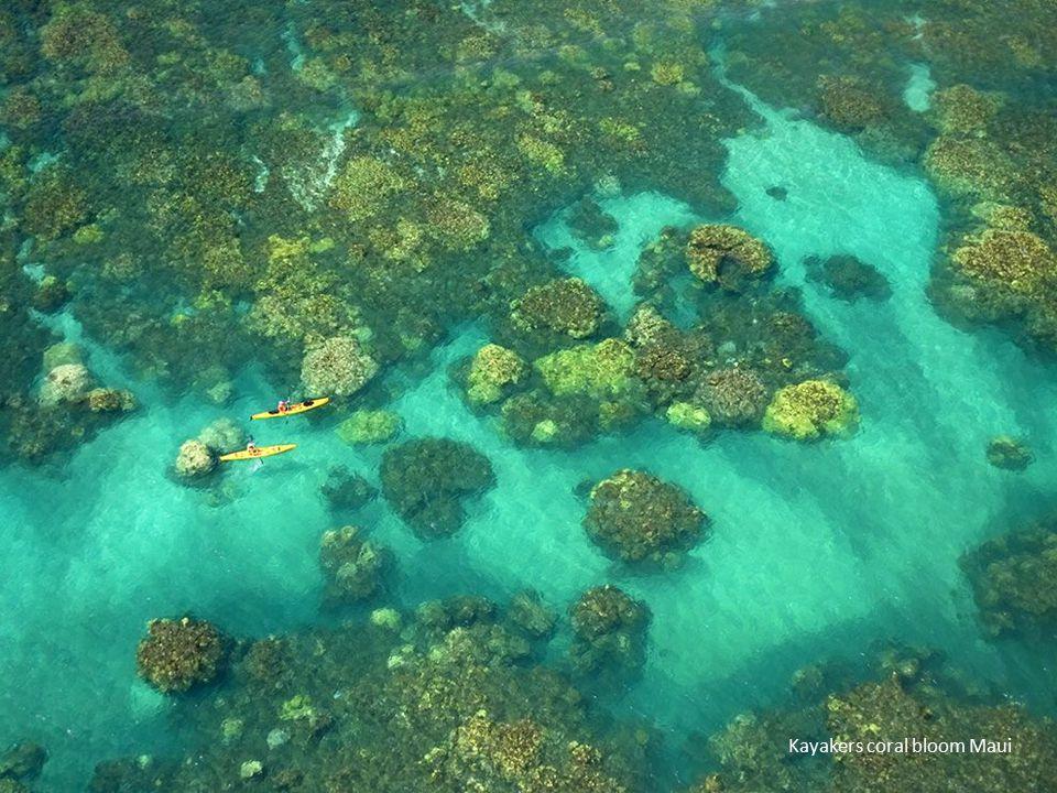 Kayakers coral bloom Maui