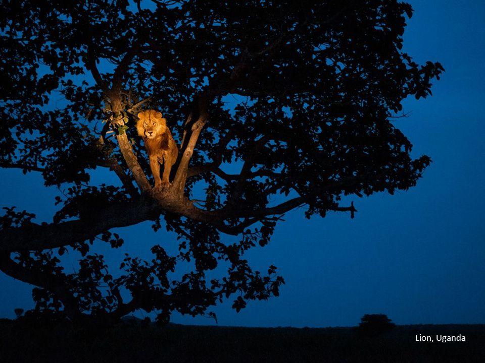 Lion, Uganda