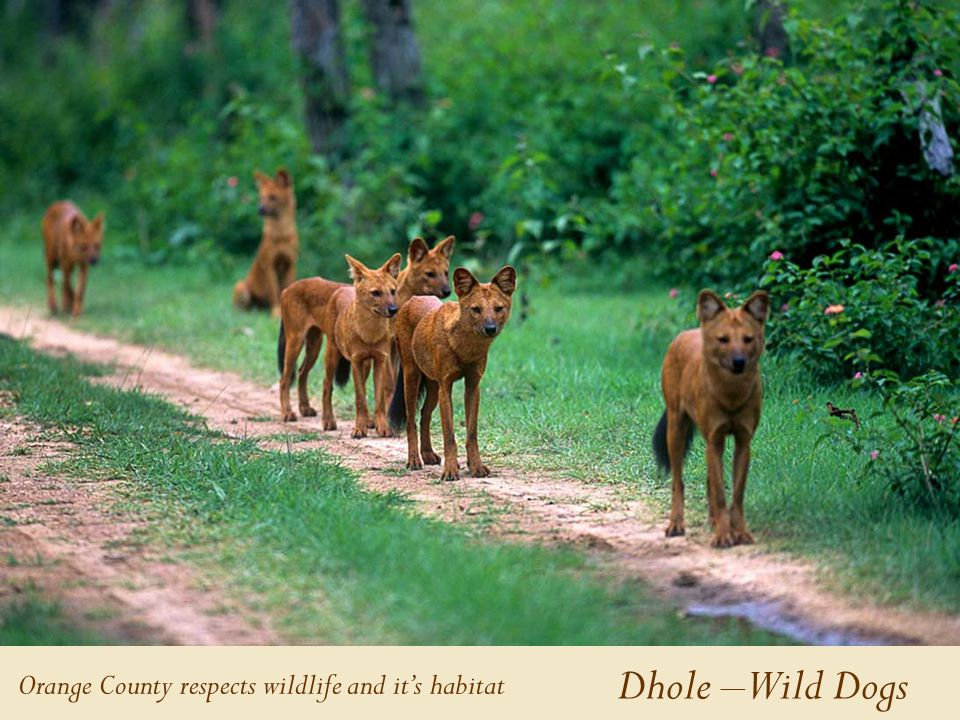 Dhole – Wild Dogs Orange County respects wildlife and it's habitat