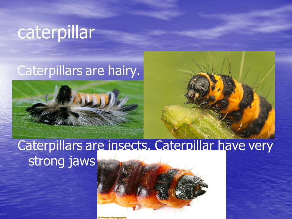 caterpillar Caterpillars are hairy. Caterpillars are insects. Caterpillar have very strong jaws