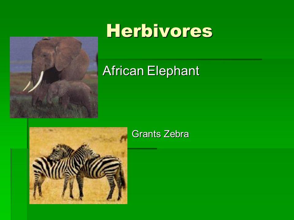 Herbivores  African Elephant  Grants Zebra