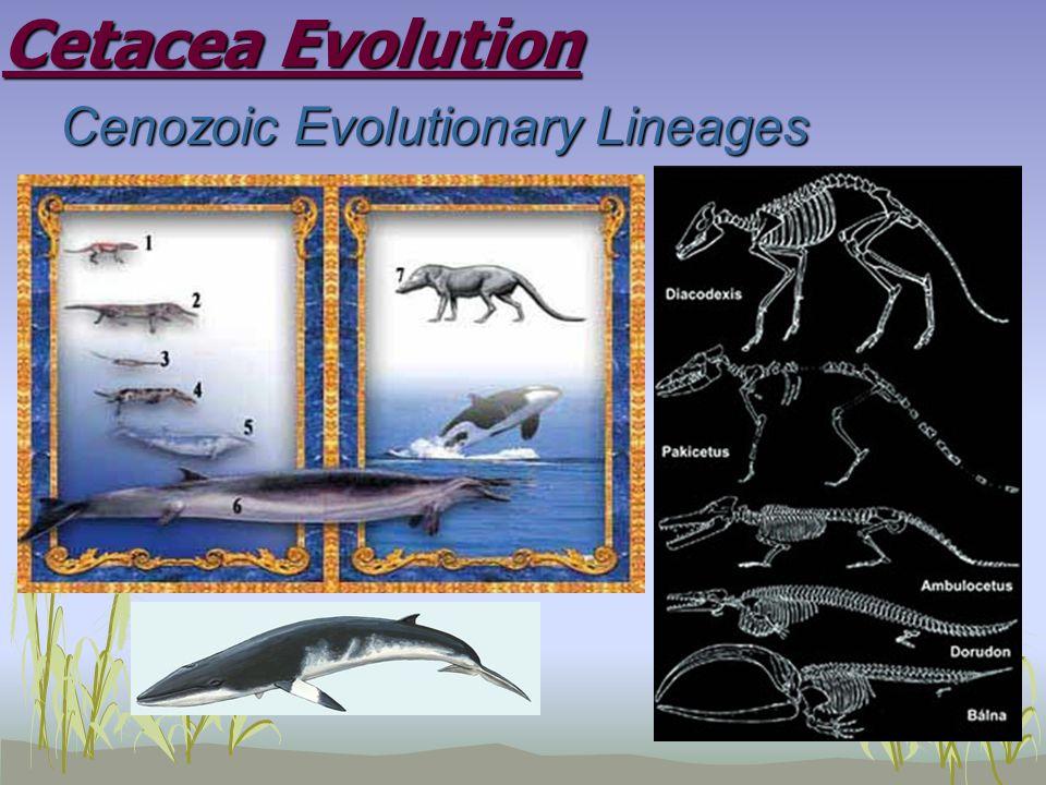Cetacea Evolution Cenozoic Evolutionary Lineages Cenozoic Evolutionary Lineages