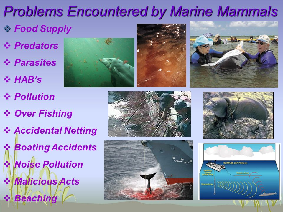 Problems Encountered by Marine Mammals   Food Supply   Predators   Parasites   HAB's   Pollution   Over Fishing   Accidental Netting  