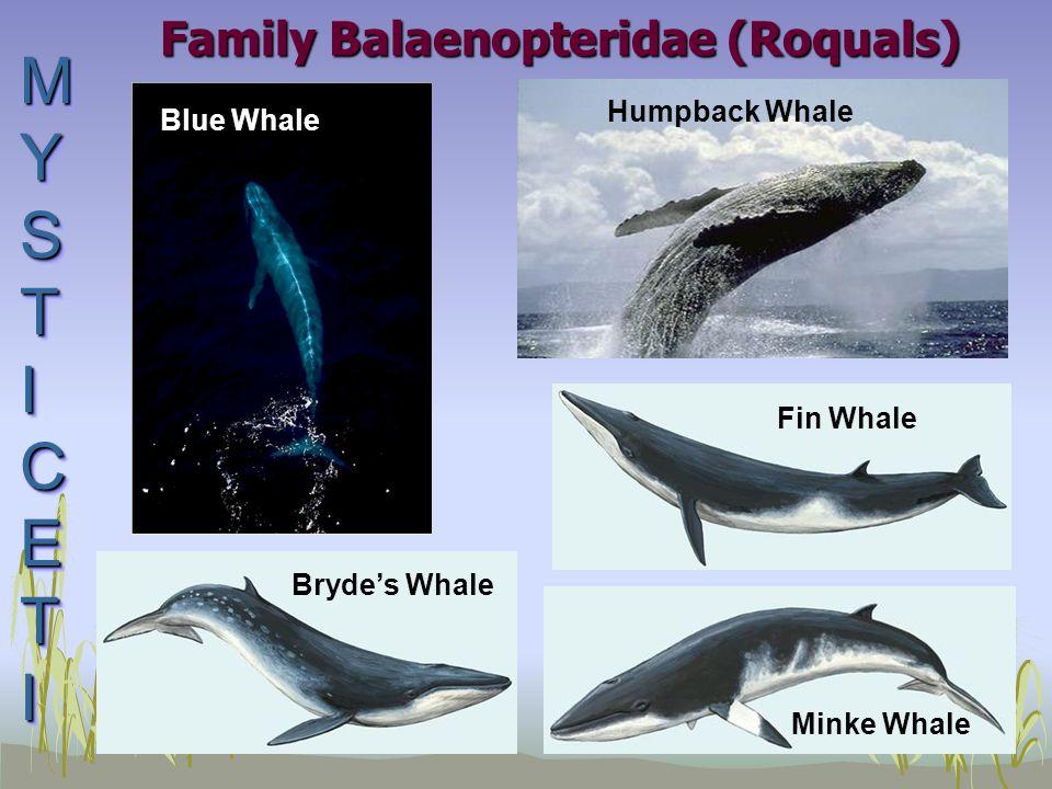 Family Balaenopteridae (Roquals) Fin Whale Minke Whale MYSTICETIMYSTICETIMYSTICETIMYSTICETI MYSTICETIMYSTICETIMYSTICETIMYSTICETI Bryde's Whale Humpback Whale Blue Whale