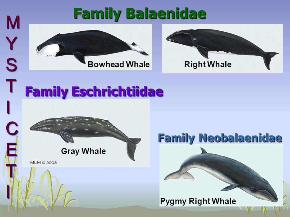 Family Balaenidae Bowhead Whale Pygmy Right Whale Gray Whale MYSTICETIMYSTICETIMYSTICETIMYSTICETI MYSTICETIMYSTICETIMYSTICETIMYSTICETI Right Whale Family Eschrichtiidae Family Neobalaenidae