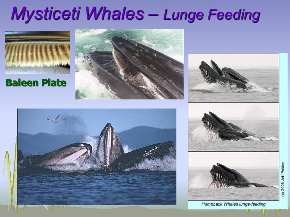 Mysticeti Whales – Lunge Feeding Baleen Plate