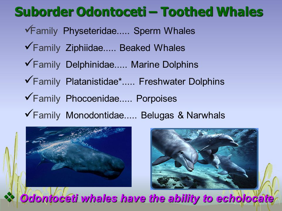 Suborder Odontoceti – Toothed Whales Family Physeteridae..... Sperm Whales Family Ziphiidae..... Beaked Whales Family Delphinidae..... Marine Dolphins