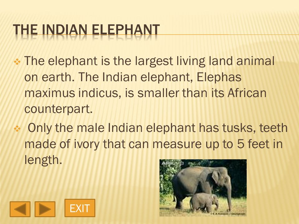  The elephant is the largest living land animal on earth.