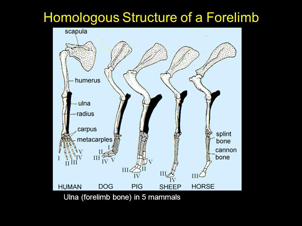 Homologous Structure of a Forelimb Ulna (forelimb bone) in 5 mammals