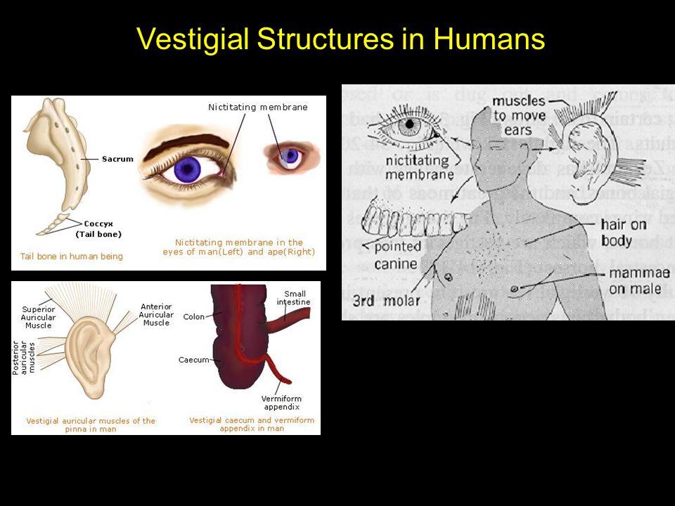 Vestigial Structures in Humans