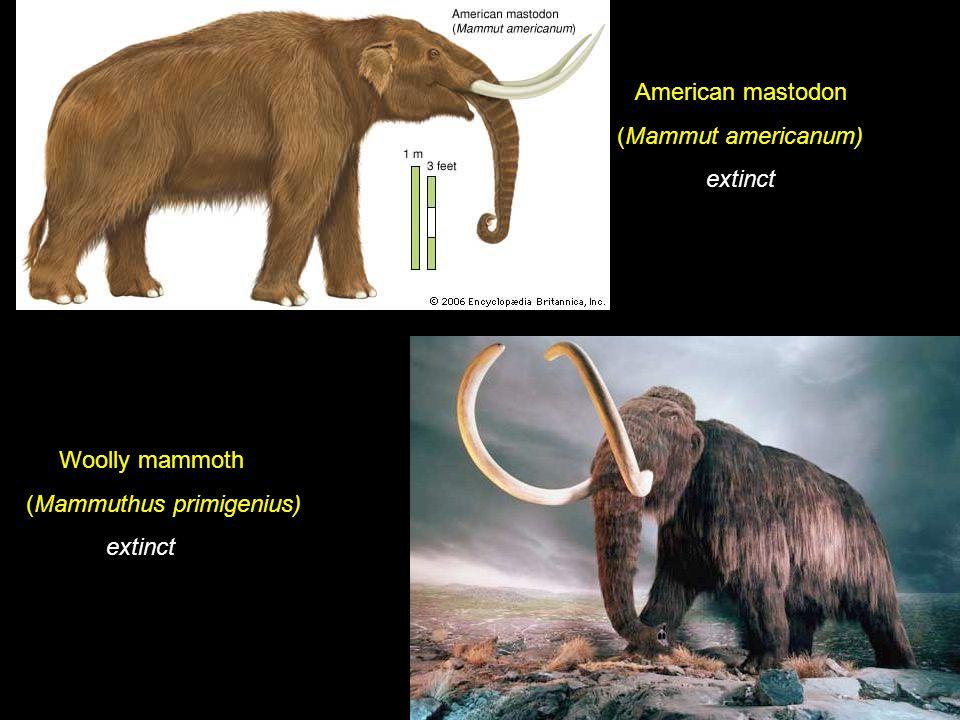 American mastodon (Mammut americanum) extinct Woolly mammoth (Mammuthus primigenius) extinct