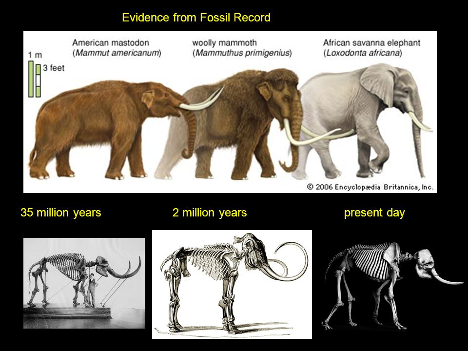 Evidence from Fossil Record 35 million years2 million yearspresent day