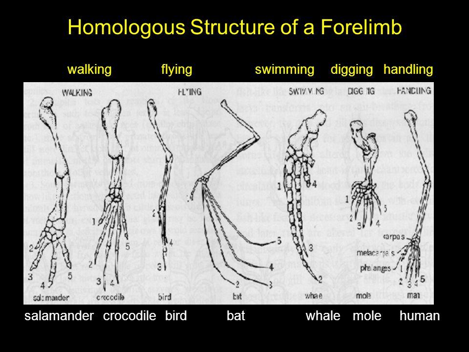 Homologous Structure of a Forelimb salamander crocodilebird bat whalemolehuman walkingflyingswimming digging handling