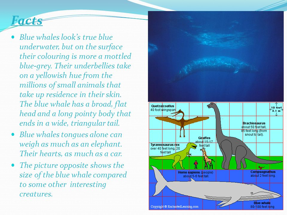  Blue whales can reach speeds of 50 kilometres per hour over short bursts, usually when interacting with other whales, but 20 kilometres per hour is a more typical traveling speed.