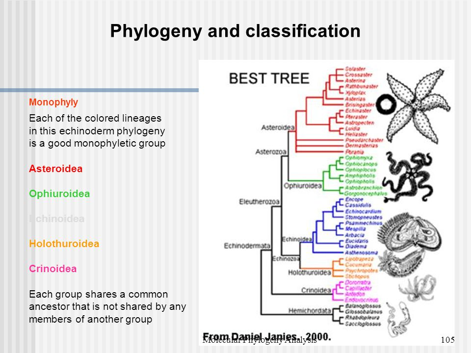 Phylogeny and classification Monophyly Each of the colored lineages in this echinoderm phylogeny is a good monophyletic group Asteroidea Ophiuroidea Echinoidea Holothuroidea Crinoidea Each group shares a common ancestor that is not shared by any members of another group 105Molecular Phylogeny Analysis