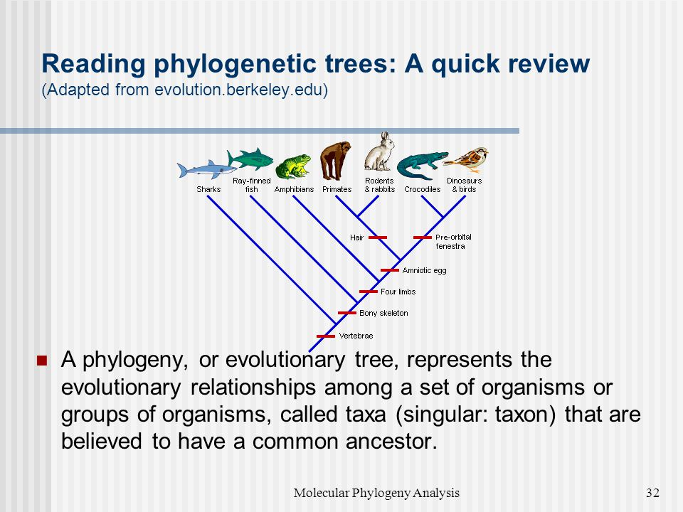 Reading phylogenetic trees: A quick review (Adapted from evolution.berkeley.edu) A phylogeny, or evolutionary tree, represents the evolutionary relationships among a set of organisms or groups of organisms, called taxa (singular: taxon) that are believed to have a common ancestor.