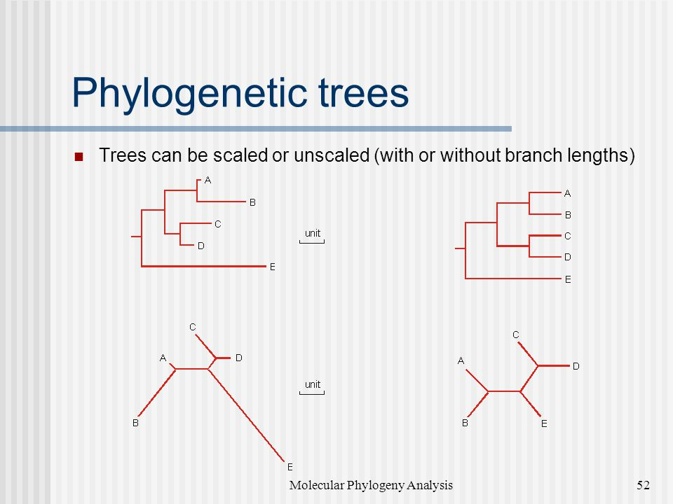 Phylogenetic trees Trees can be scaled or unscaled (with or without branch lengths) Molecular Phylogeny Analysis52