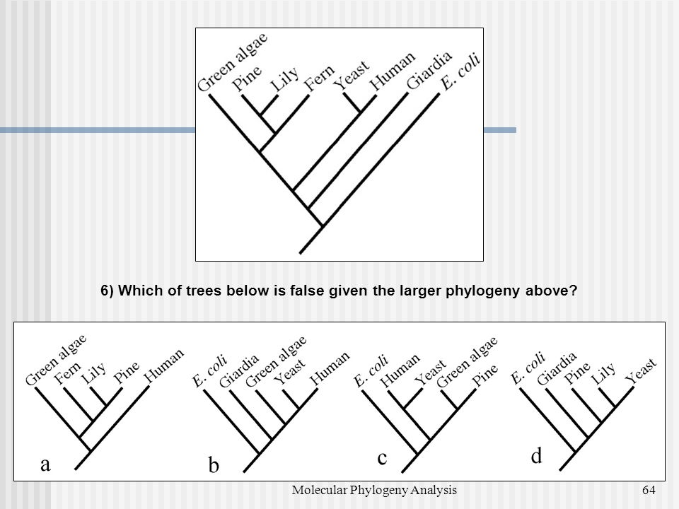 6) Which of trees below is false given the larger phylogeny above? 64Molecular Phylogeny Analysis