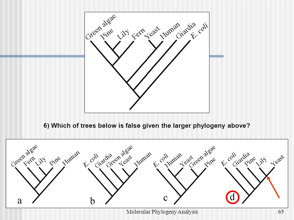 6) Which of trees below is false given the larger phylogeny above? 65Molecular Phylogeny Analysis