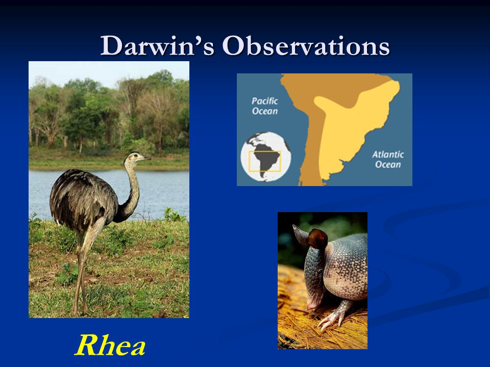 Darwin's Observations Rhea