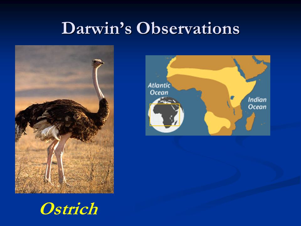 Darwin's Observations Ostrich