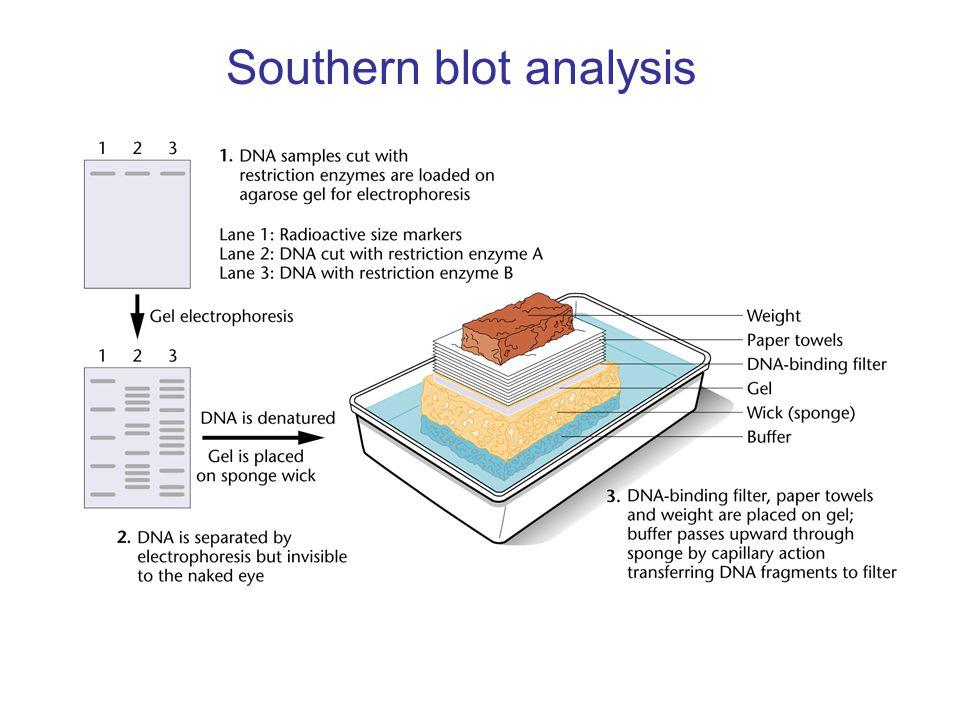 Southern blot analysis