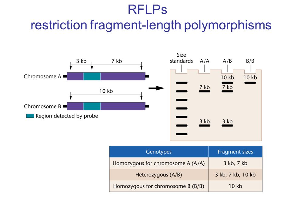 RFLPs restriction fragment-length polymorphisms