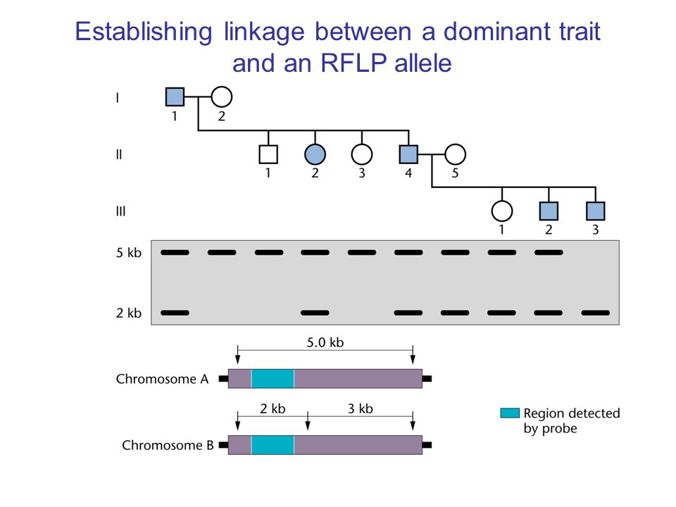 Establishing linkage between a dominant trait and an RFLP allele