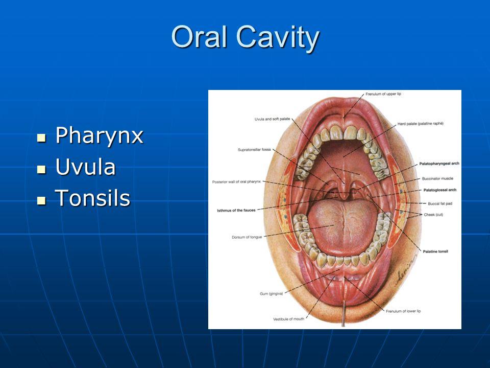 Oral Cavity Pharynx Pharynx Uvula Uvula Tonsils Tonsils