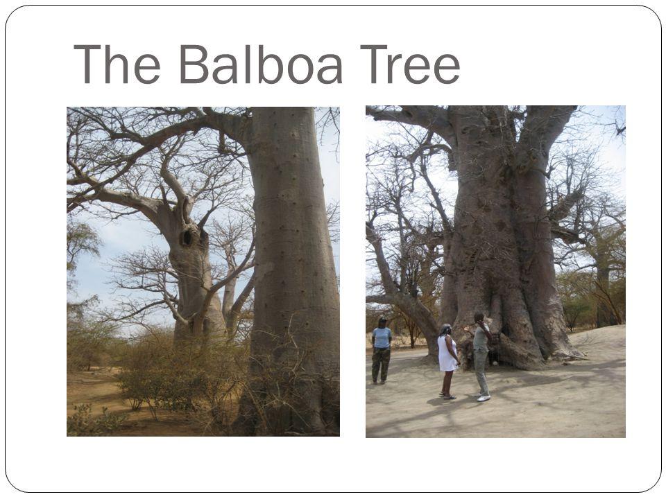 The Balboa Tree