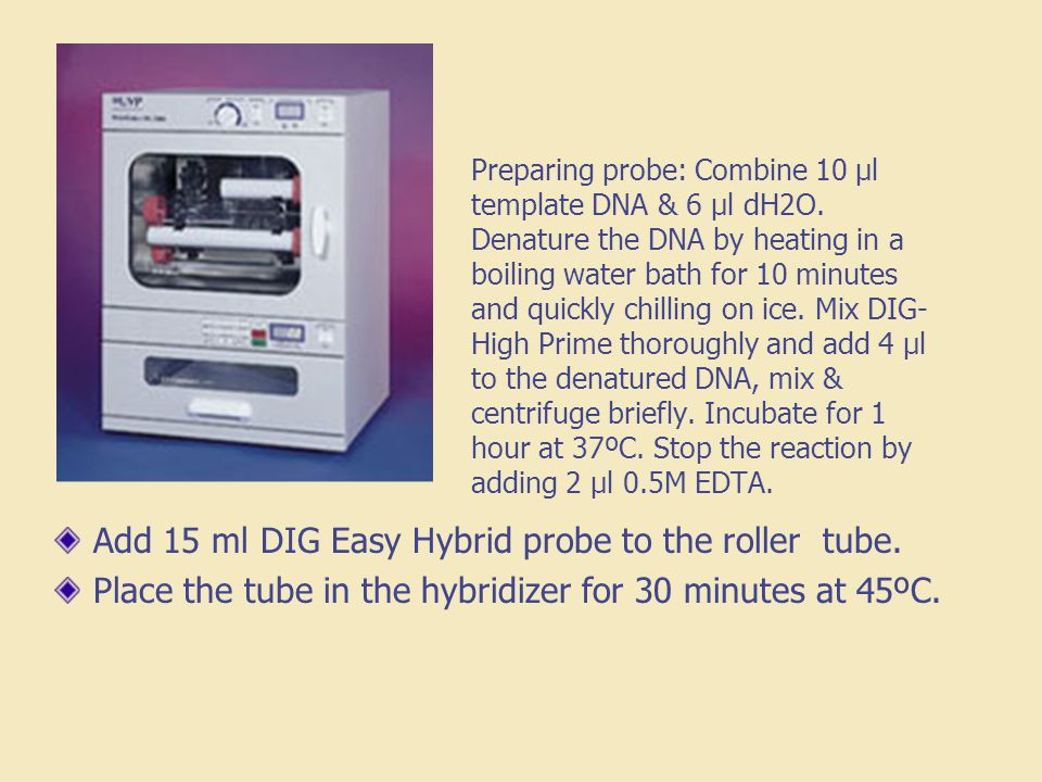 Preparing probe: Combine 10 µl template DNA & 6 µl dH2O. Denature the DNA by heating in a boiling water bath for 10 minutes and quickly chilling on ic
