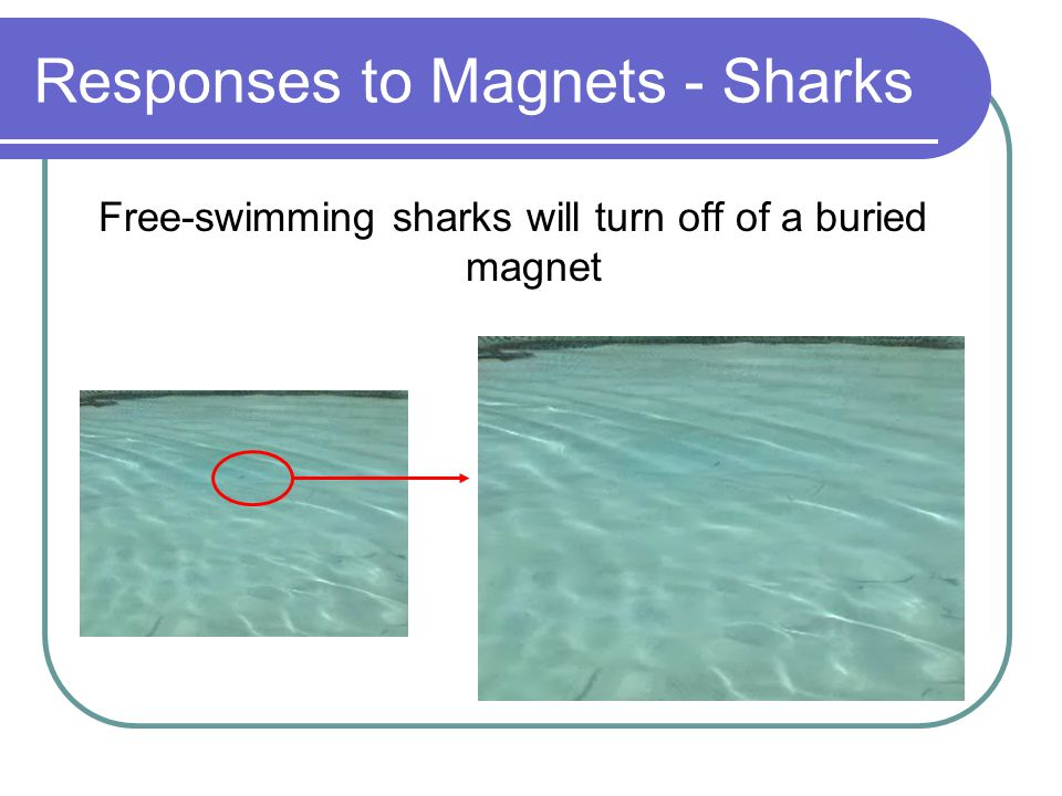 Responses to Magnets - Sharks Diminishing response with continuing exposure Magnetosense appears to be switchable High olfactory stimulation overrides magnetosense Magnet at d=0.0m to shark, no response
