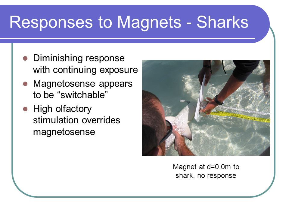 Responses to Magnets - Sharks Diminishing response with continuing exposure Magnetosense appears to be switchable High olfactory stimulation overrides magnetosense Diminishing response