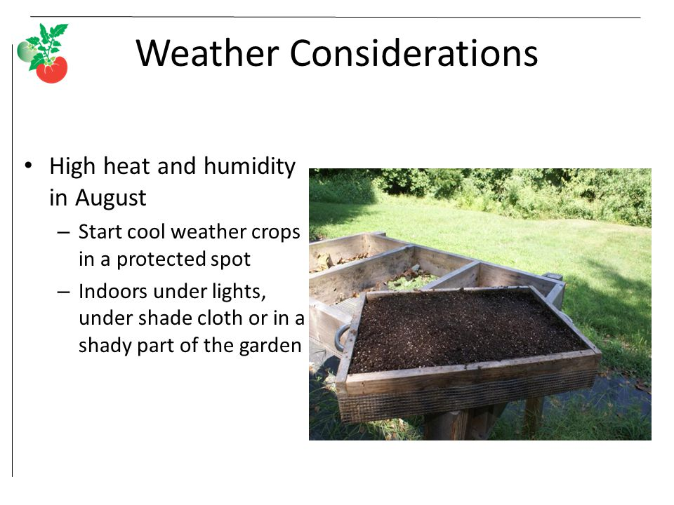 Weather Considerations High heat and humidity in August – Start cool weather crops in a protected spot – Indoors under lights, under shade cloth or in