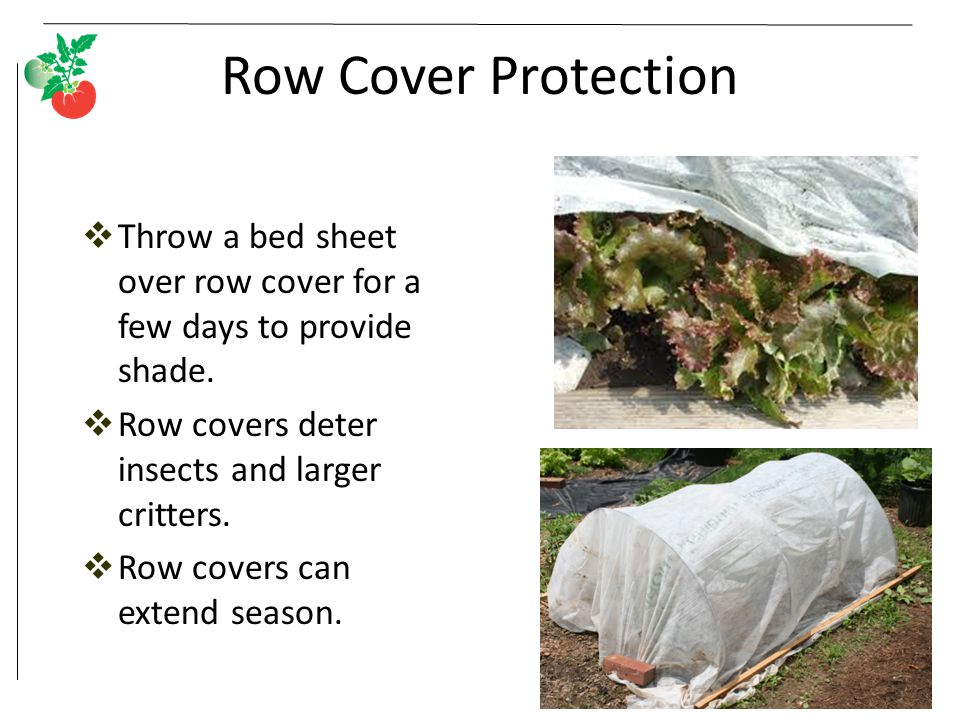 Row Cover Protection  Throw a bed sheet over row cover for a few days to provide shade.  Row covers deter insects and larger critters.  Row covers