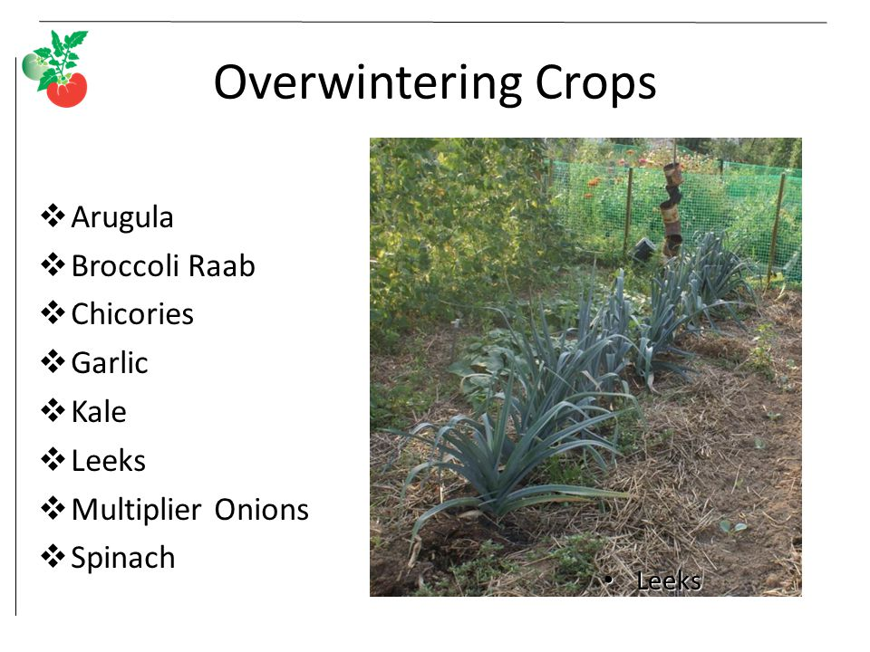 Overwintering Crops  Arugula  Broccoli Raab  Chicories  Garlic  Kale  Leeks  Multiplier Onions  Spinach Leeks Leeks