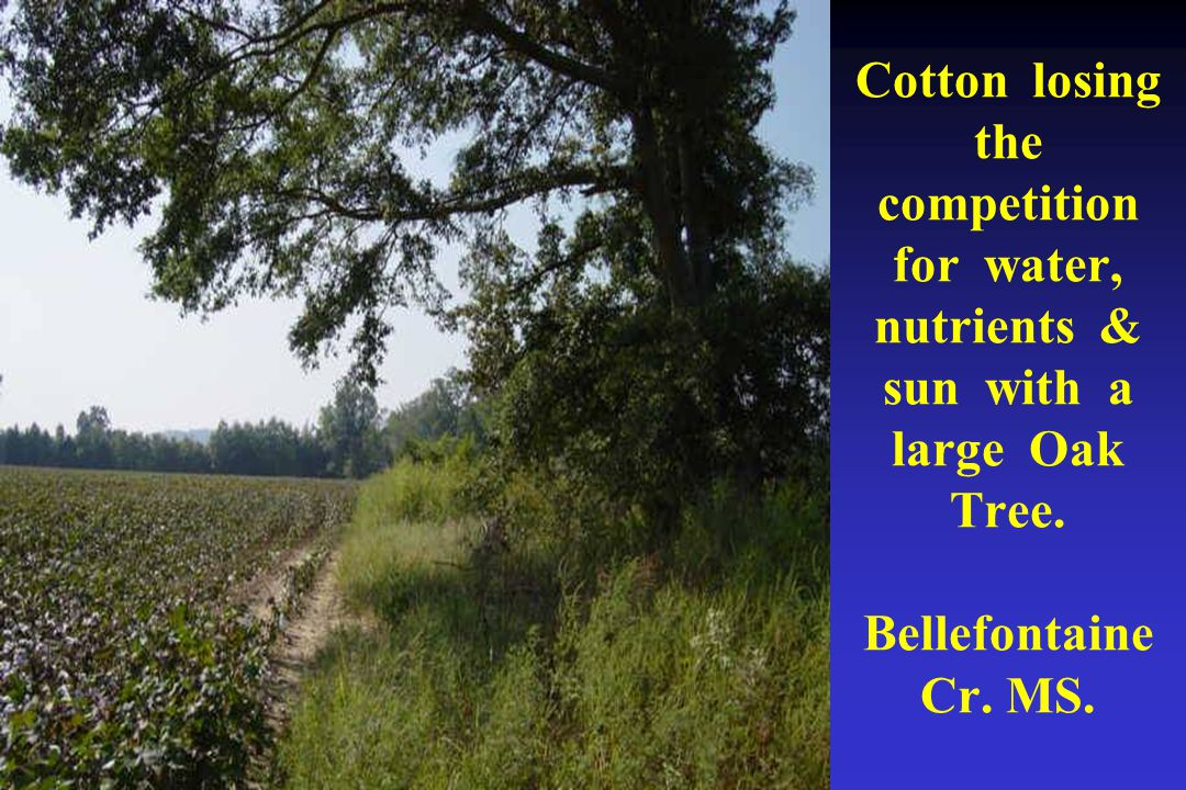 Cotton losing the competition for water, nutrients & sun with a large Oak Tree.