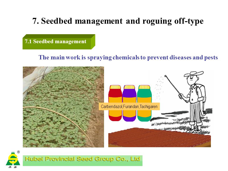 6. Field Preparation 6.3 Chemical weeding a.We can spray 48% Trifluralin 1500-1875g/hm2 on the surface of soil before transplanting ; use in early tim