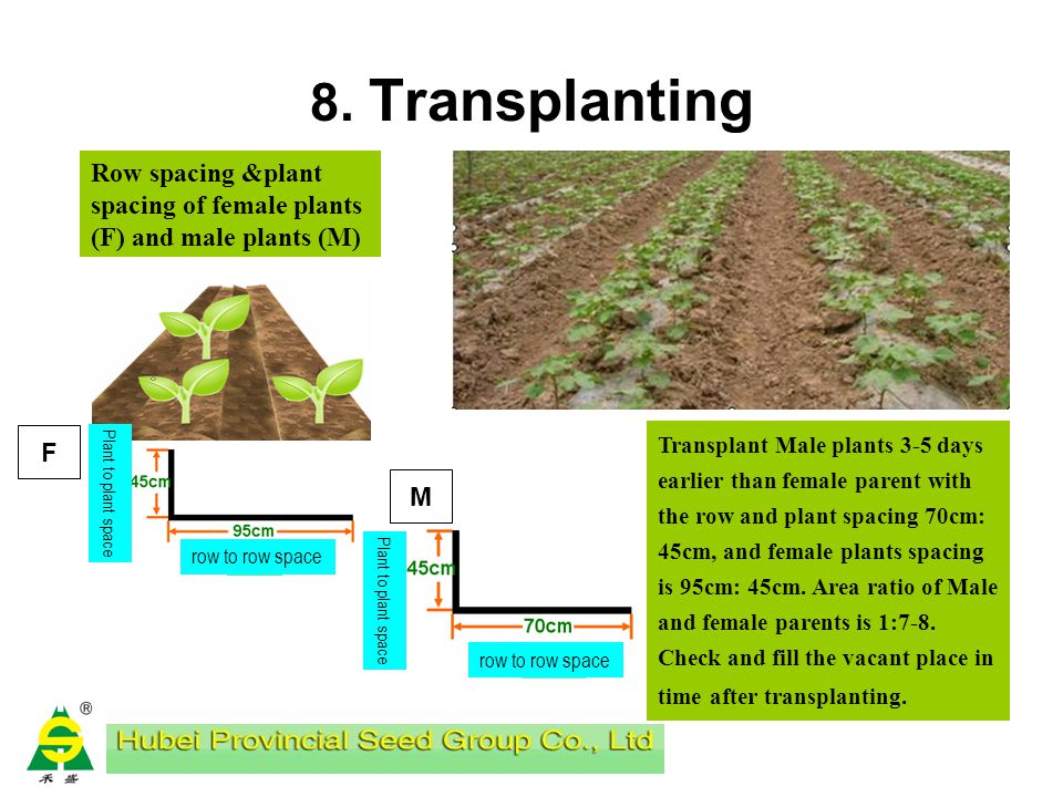 8. Transplanting Applying compound fertilizer 225kg/ha before transplanting. Start transplanting from 2.5 leaves stage. Timely watering after transpla