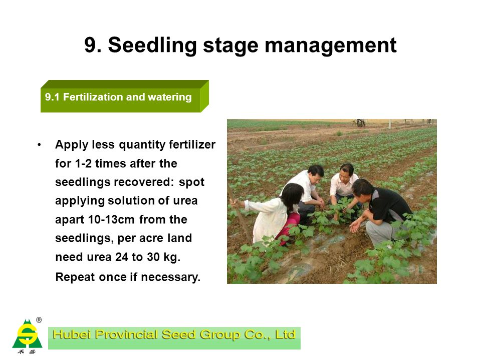 8. Transplanting Row spacing &plant spacing of female plants (F) and male plants (M) Transplant Male plants 3-5 days earlier than female parent with t