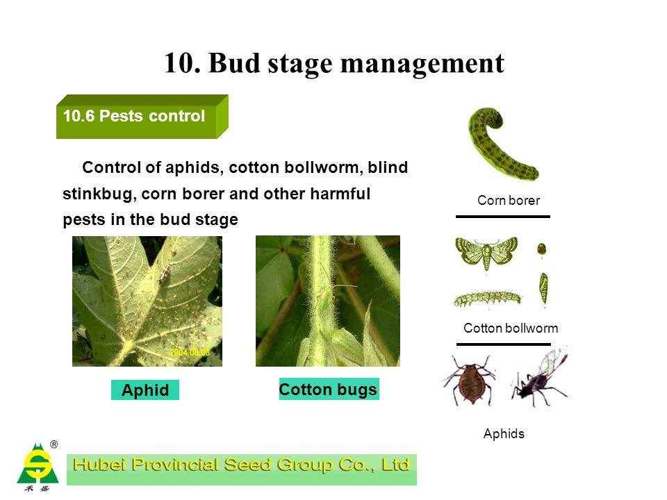 10. Bud stage management Cotton is a kind of often cross- pollinated crop, parental mutations usually occurs. During bud stage, off-type features are