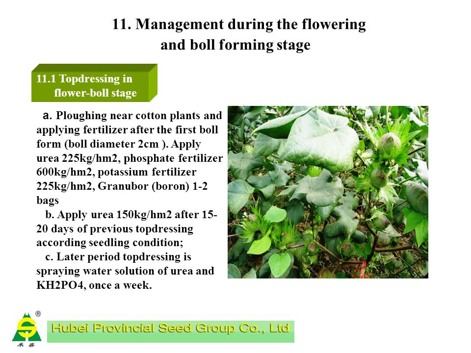10. Bud stage management 10.6 Pests control Control of aphids, cotton bollworm, blind stinkbug, corn borer and other harmful pests in the bud stage Ap
