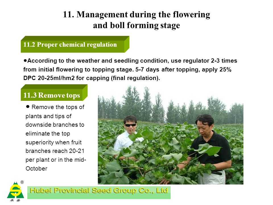 11. Management during the flowering and boll forming stage 11.1 Topdressing in flower-boll stage a. Ploughing near cotton plants and applying fertiliz